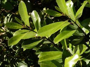 Hedycarya arborea pigeonwood  Porokaiwhiri