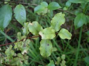 IMGP0028 Myrsine australis mapou