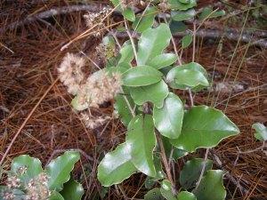Olearia furfuracea