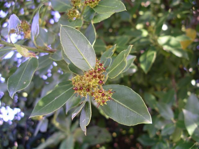 Rhamnus alaternus (evergreen buckthorn)